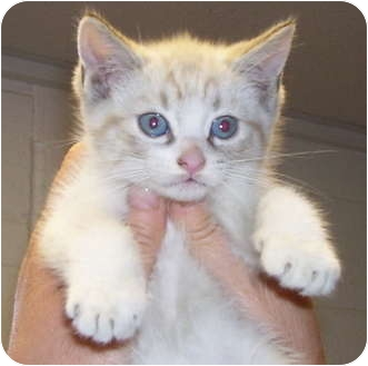 Siamese Kitten for adoption in Somerset, Pennsylvania - James