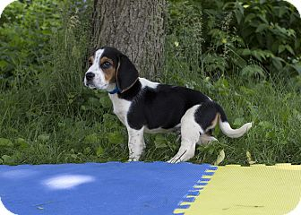 Beagle Mix Puppy for adoption in Ile-Perrot, Quebec - Torque