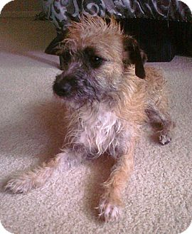 Border Terrier/Terrier (Unknown Type, Small) Mix Dog for adoption in Mission Viejo, California - CORNELIUS