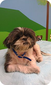 Shih Tzu Mix Dog for adoption in New Windsor, New York - Willie