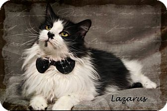 Domestic Longhair Cat for adoption in Kerrville, Texas - Lazarus