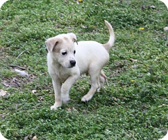 Shepherd (Unknown Type) Mix Puppy for adoption in kennebunkport, Maine - Cody - in Maine