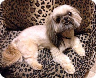Shih Tzu Dog for adoption in Los Angeles, California - TITO