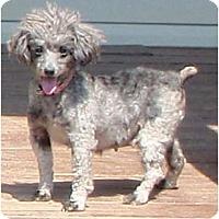 Adopt A Pet :: Phyllis (Diller) - Allentown, PA