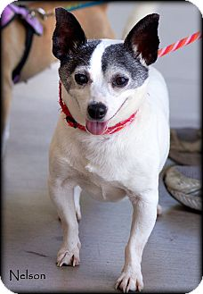 Chihuahua Mix Dog for adoption in Vista, California - Nelson