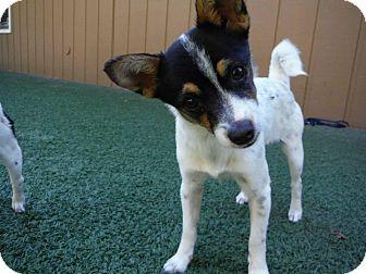 Fox Terrier (Smooth) Mix Dog for adoption in Dublin, California - Celeste