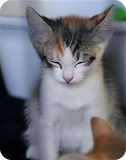 Domestic Shorthair Kitten for adoption in Rocklin, California - Jitterbug