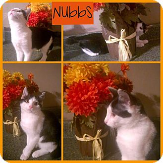 Manx Cat for adoption in Hagerstown, Maryland - Nubbs