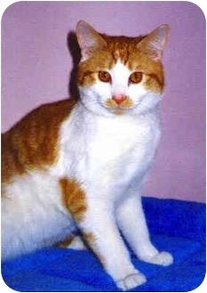 Domestic Shorthair Cat for adoption in Medway, Massachusetts - Ross