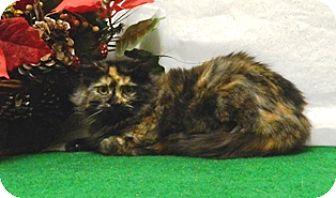 Domestic Mediumhair Cat for adoption in Columbus, Nebraska - Lucy
