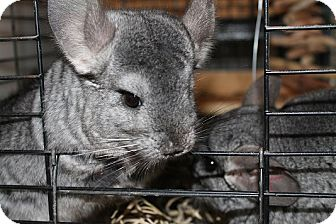 Chinchilla for adoption in Virginia Beach, Virginia - Lola,  Pip & Riley