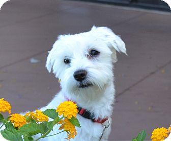 Schnauzer (Miniature)/Poodle (Miniature) Mix Dog for adoption in Chandler, Arizona - Wookie