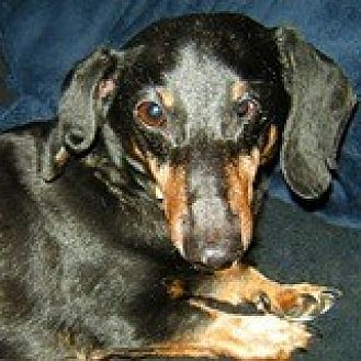 Dachshund Dog for adoption in Houston, Texas - Ray Roseart
