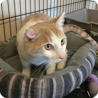 Domestic Shorthair Cat for adoption in Loogootee, Indiana - Bubby