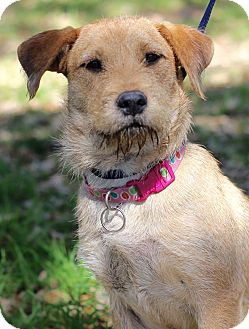 Border Terrier Mix Dog for adoption in Madison, Wisconsin - ADELE