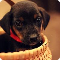 Adopt A Pet :: Sarge-Adoption Pending - Fredericksburg, VA