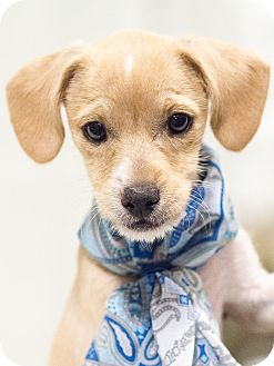 Terrier (Unknown Type, Small)/Chihuahua Mix Puppy for adoption in Chandler, Arizona - Speedy