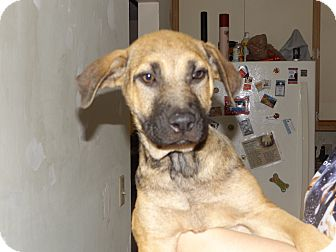 Mountain Cur/German Shepherd Dog Mix Puppy for adoption in Rosemount, Minnesota - Abby