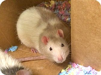 Rat for adoption in Harrisonburg, Virginia - Jack