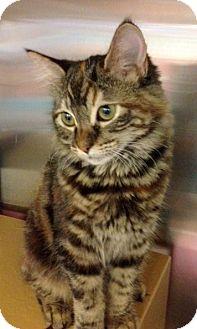 Domestic Mediumhair Kitten for adoption in San Leandro, California - Coffee Bean