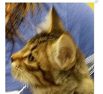 Domestic Shorthair Kitten for adoption in Red Bluff, California - MARY-Low fees/spayed