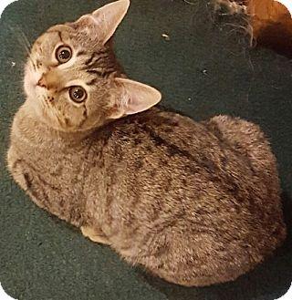 Domestic Shorthair Cat for adoption in Buhl, Idaho - McCauley