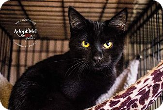 Domestic Shorthair Kitten for adoption in Charlotte, North Carolina - A..  Spookie