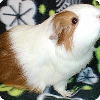 Adopt A Pet :: Sewaddle - Steger, IL