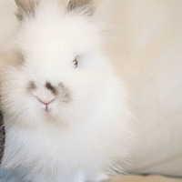 Lionhead Mix for adoption in Los Angeles, California - Chip