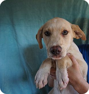 Labrador Retriever/Golden Retriever Mix Puppy for adoption in Oviedo, Florida - Ping