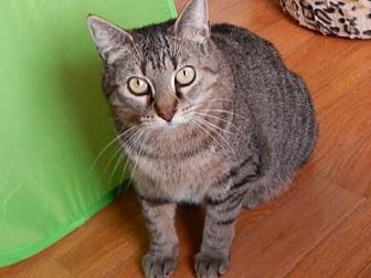 Domestic Shorthair Cat for adoption in Herndon, Virginia - Mary