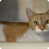 Domestic Shorthair Cat for adoption in Ringgold, Georgia - Yvonne