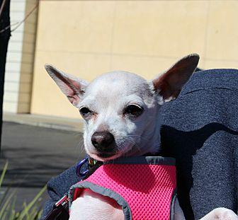 Chihuahua Mix Dog for adoption in Yuba City, California - Chloe
