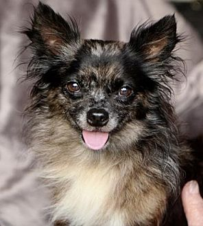Chihuahua Dog for adoption in Picayune, Mississippi - COURTESY POST - Mingo