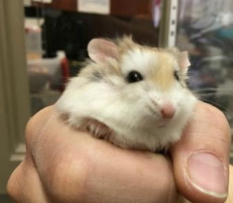Hamster/Hamster Mix for adoption in Oak Park, Illinois - Buzz