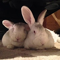 Adopt A Pet :: Chloe and Portia - Holbrook, NY