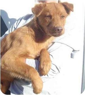 Golden Retriever Mix Puppy for adoption in Chapel Hill, North Carolina - Elijah
