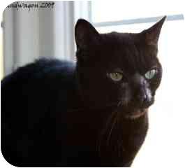 Domestic Shorthair Cat for adoption in Xenia, Ohio - Doris