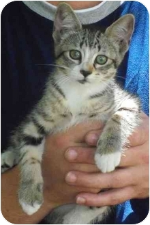 Domestic Mediumhair Kitten for adoption in Haughton, Louisiana - Mittzi