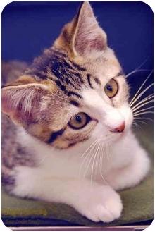 Domestic Shorthair Kitten for adoption in San Diego, California - Slinky