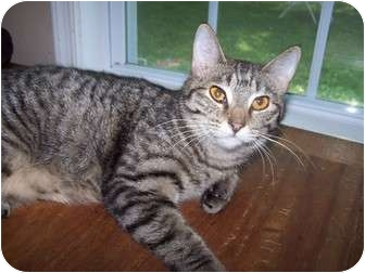 Domestic Shorthair Cat for adoption in Chester, Virginia - Lisa