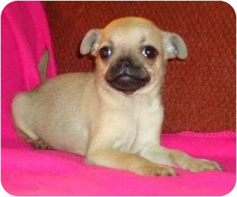 Pug/Beagle Mix Puppy for adoption in P, Maine - Haley