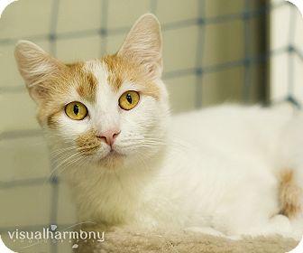 Domestic Shorthair Cat for adoption in Phoenix, Arizona - Twinkle