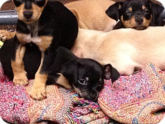 Miniature Pinscher Mix Puppy for adoption in Simi Valley, California - Dopey