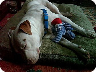American Pit Bull Terrier Mix Dog for adoption in San Diego, California - Chata