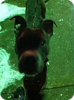 American Pit Bull Terrier Mix Dog for adoption in McKeesport, Pennsylvania - Denali