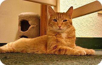Domestic Shorthair Cat for adoption in Fountain Hills, Arizona - CUDDLES
