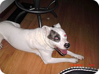 Shepherd (Unknown Type)/Husky Mix Dog for adoption in Treton, Ontario - Bogey