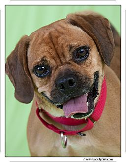 Pug/Beagle Mix Dog for adoption in New Rochelle Humane, New York - Chris