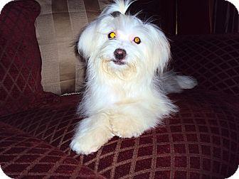 Maltese Puppy for adoption in San Diego, California - Jessie